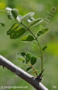 """""""les épines ne sont pas que sur les roses"""", acacia d'un jardin des berges de Verdon (83) Vinon-sur-Verdon, acacia, photo © PhI"""