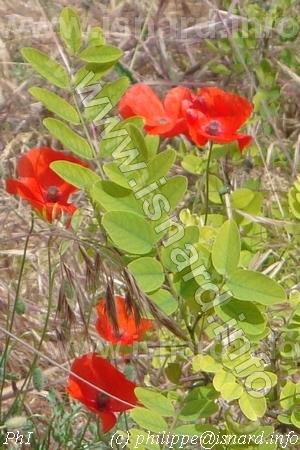 coquelicot et acacia sur les berges du Verdon (83) Vinon