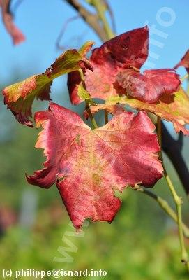 Feuille de vigne (Drôme) atteinte de #Flavescence dorée n° 2, 2012 (c) PhI