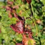 feuille de vigne 26 Flavescence dorée 2012 PhI