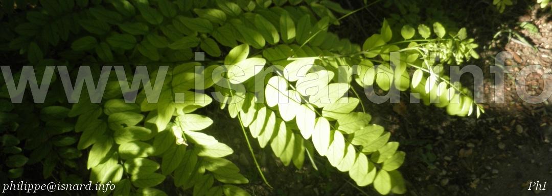 Acacia bord du Verdon, Vinon (c) PhI 8.14
