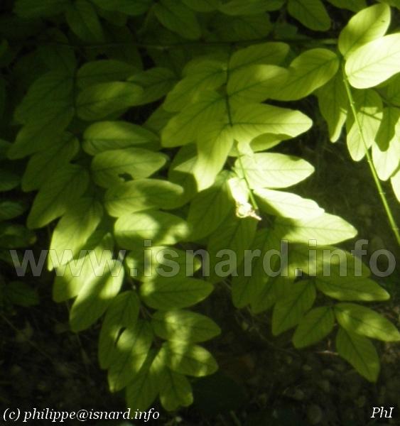 feuilles d'acacia, Vinon-sur-Verdon (c) PhI août 2014