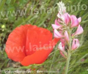 Gréoux, coquelicot, sainfoin, herbe (c) PhI 6.5.12