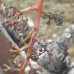 vigne 34 deux (c) PhI