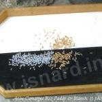 Riz paddy & blanc, Camargue (c) PhI