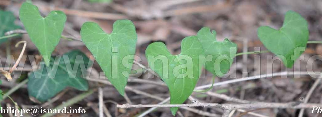 Coeurs de lierre 16.8.13 Vinon (83) bandeau