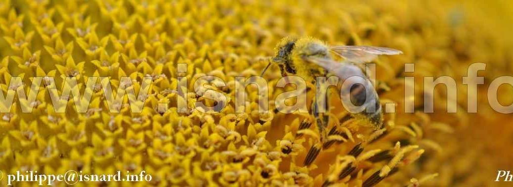 abeille & tournesol (84) Sarrians 17.9.13 © PhI