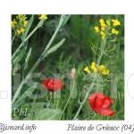 coquelicot colza 5.15 printemps Gréoux