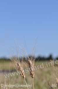 blé dur 04 Gréoux 22.6.13 (c) PhI