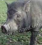 Cochon chinois (13) Arles (c) PhI