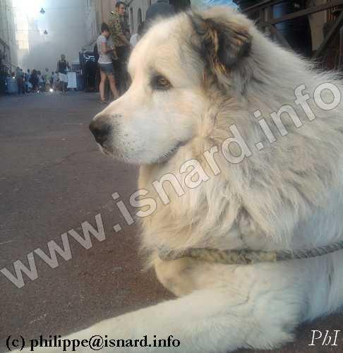 chien patou, Marseille vieux-port 22.6.11 (c) PhI