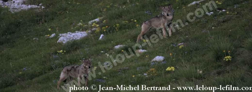 bandeau Loups sauvages (c) J.-Michel Bertrand 26.6.14