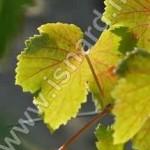 feuille de vigne Vauc 21.9.12 (c) PhI