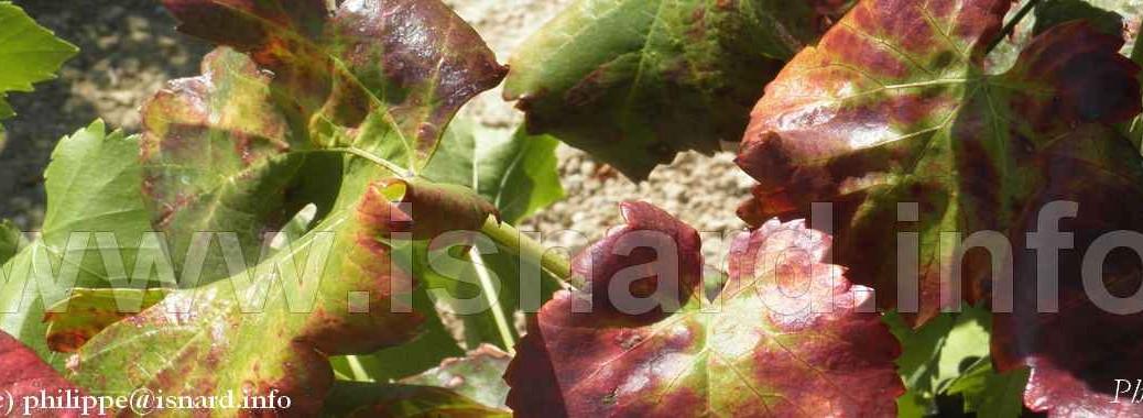 vigne rouge flavescence dorée (c) PhI 9.14