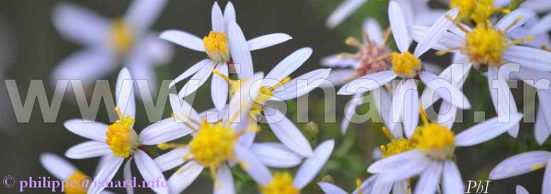 fleurs (83- Vinon 16.10.13 (c) PhI