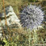 Chardon bleu 8.12 (06) Andon © PhI