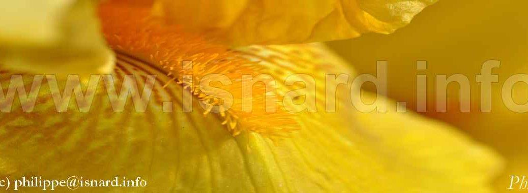 glaïeul jaune, bando (c) PhI