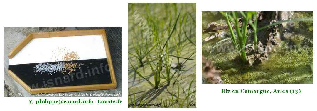 bando 3 images de riz (13) Camargue (c) PhI