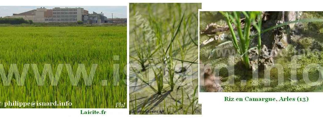 bando Arles 3 Riz en Vert © PhI