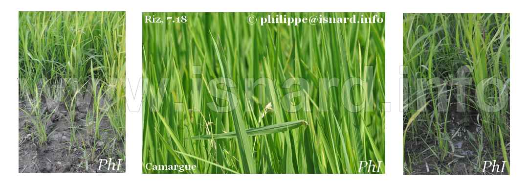 Riz en herbe, Camargue 7.18 © PhI