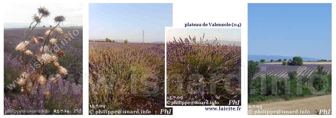 bando Lavande (04) Valensole © PhI
