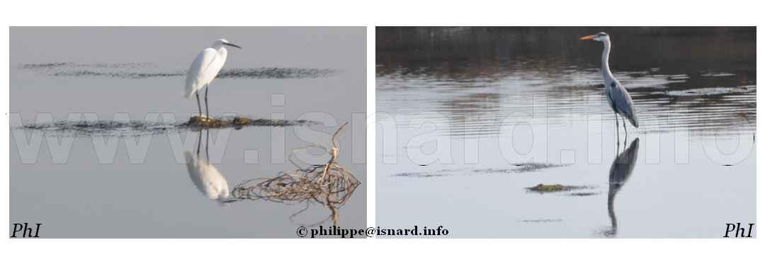 Hyères (83) oiseaux au bord de la route du sel 24.2.19 © PhI