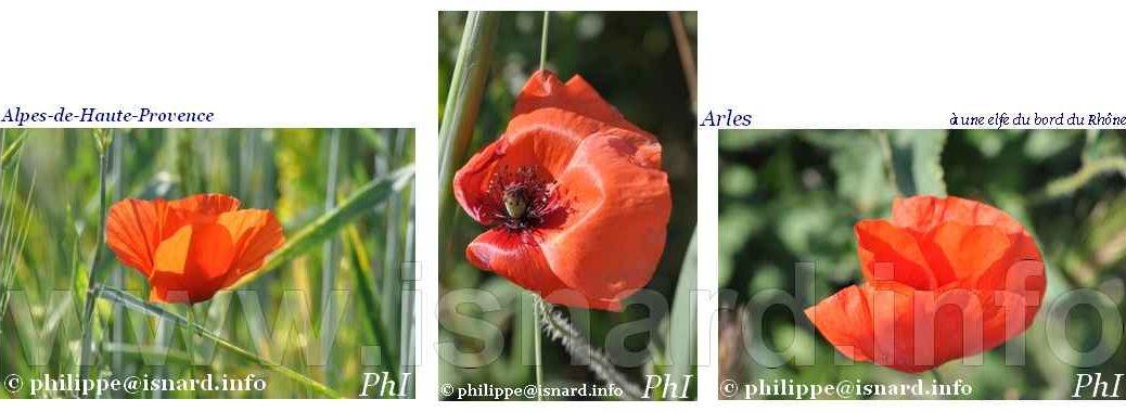 Coquelicots, Haute et Basse Provence, Valensole & Arles 2013-2019 © PhI