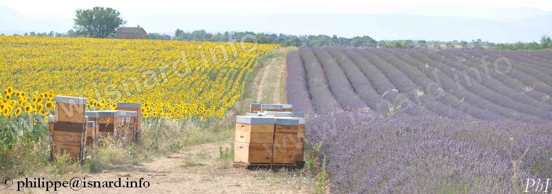 Tournesol, ruches, lavande 18.7.19 Valensole (04) © PhI