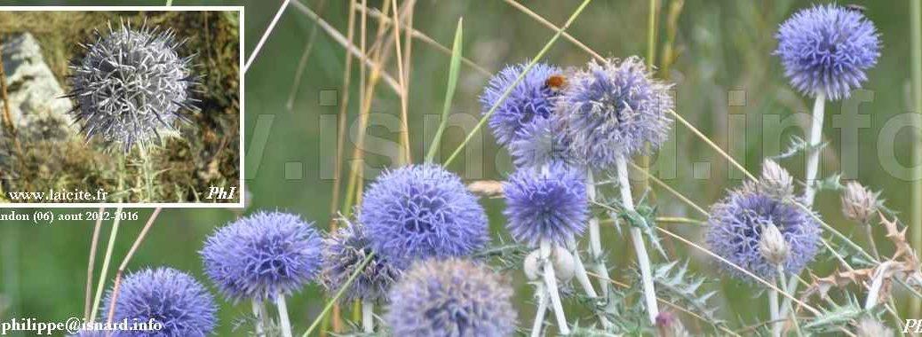 Chardon bleu (06) Andon, août 2012-2016 © PhI
