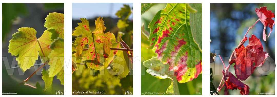 vigne effeuillée, Vaucluse © PhI, 2012, etc