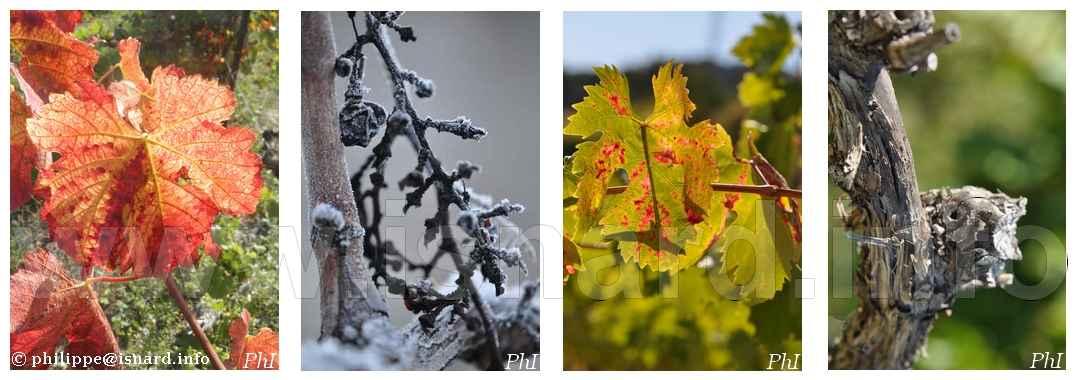 vigne, cep, grappe 2011-2015 Vaucluse © PhI