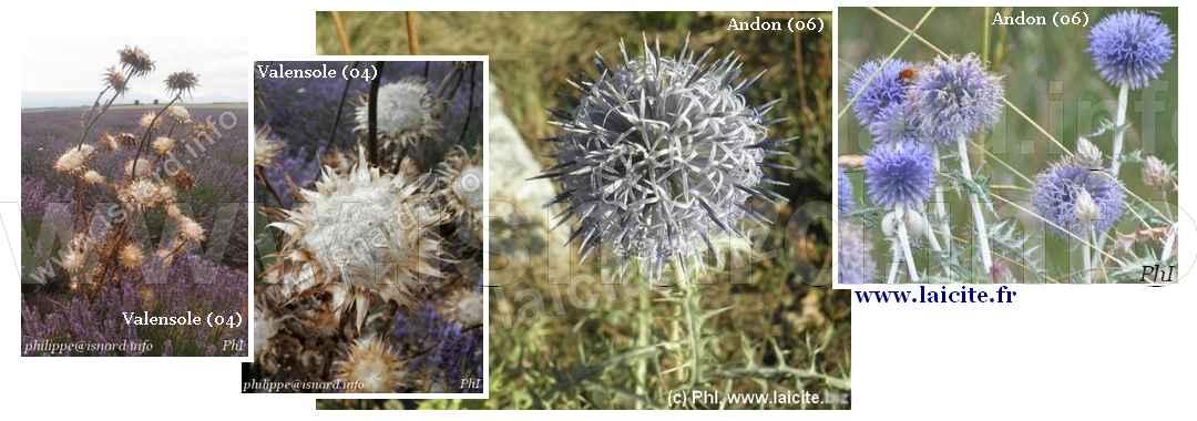Chardon (06) Andon & (04) Valensole © PhI