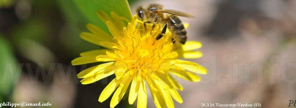 abeille & fleur (83) Vinon 26.3.19 © PhI