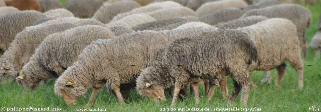 Moutons près de la digue de Trinquetaille (13) Arles 22.3.20 © PhI