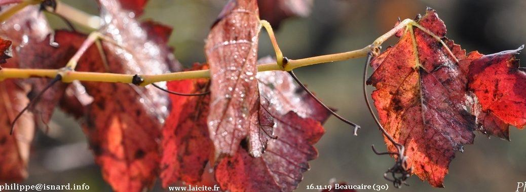 Vigne (30) Beaucaire 16.11.19 © PhI