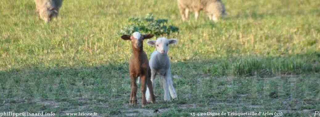 Arles (13) agneaux, digue de Trinquetaille 15.4.20 © PhI