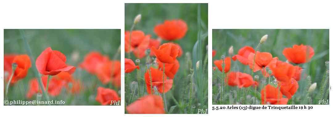 Trinquetaille 5.5.20 coquelicots au couchant © PhI