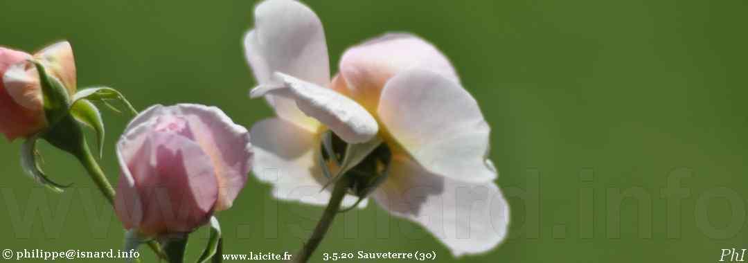 Sauveterre (30) roses de mai confiné 3.5.20 © PhI