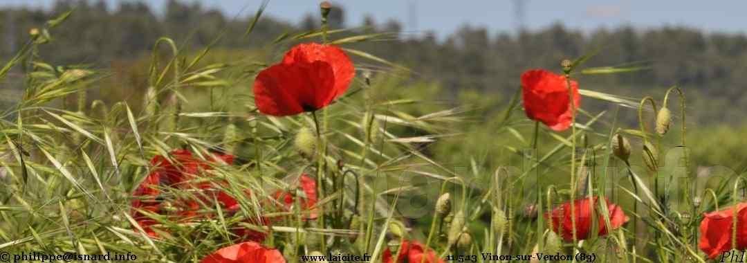 Berges du Verdon, Vinon (83) coquelicots 11.5.13 © PhI