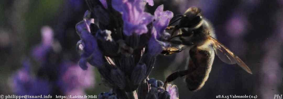 abeille grapillant le pollen de lavande (04) Valensole 28.6.15 © PhI