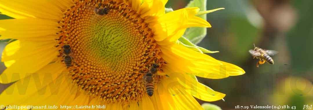 abeilles & tournesol (04) Valensole 18.7.19 © PhI