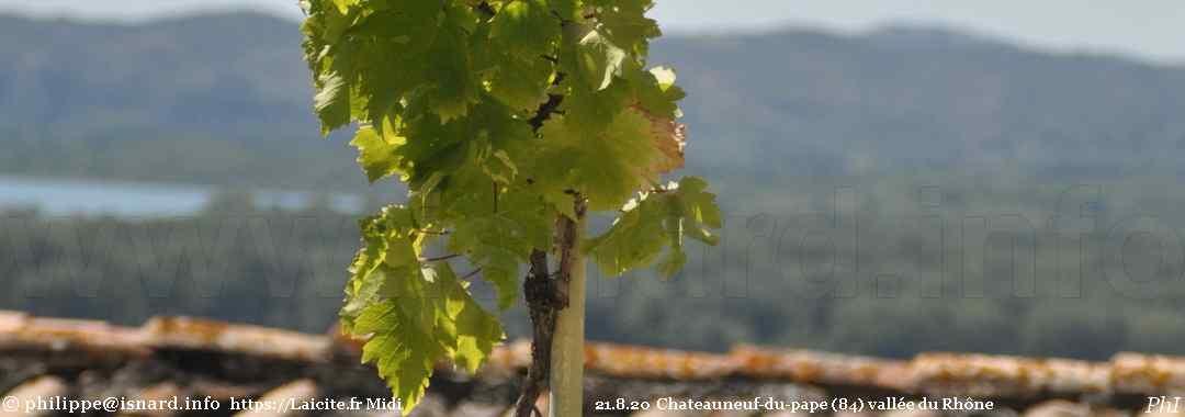 un pied de vigne qui surplombe le Rhône (84) Chateauneuf-du-pape 21.8.20 © PhI