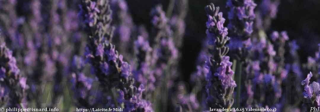 lavandes 28.6.15 Valensole (04) © PhI