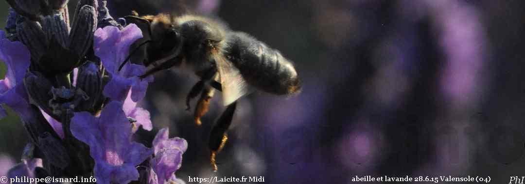 abeille sur une lavande 28.6.15 Valensole (04) © PhI