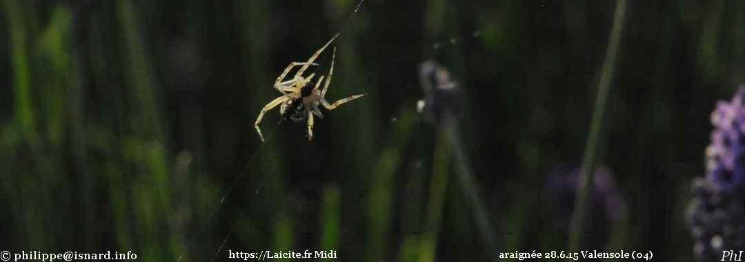 araignée 28.6.15 Valensole (04) © PhI
