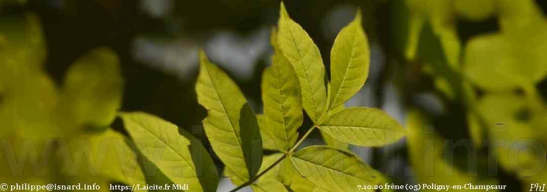 feuilles de frêne (05) Poligny-en-Champsaur 7.10.20 © PhI