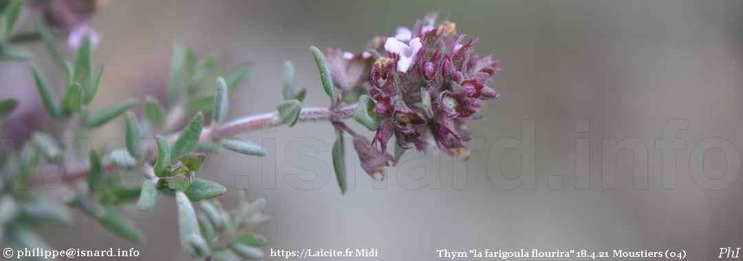 "Thym ""la farigoula flourira"" 18.4.21 (04) Moustiers © PhI"