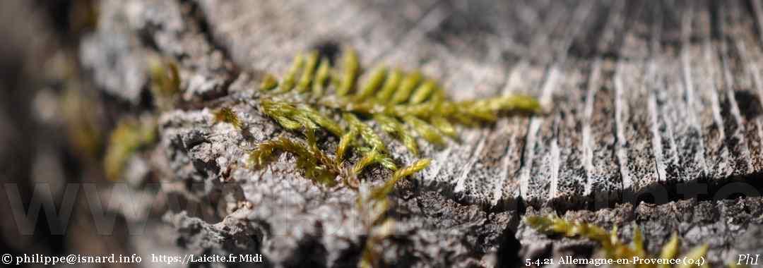 fougère et pin, Allemagne-en-Provence (04) 5.4.21 © PhI