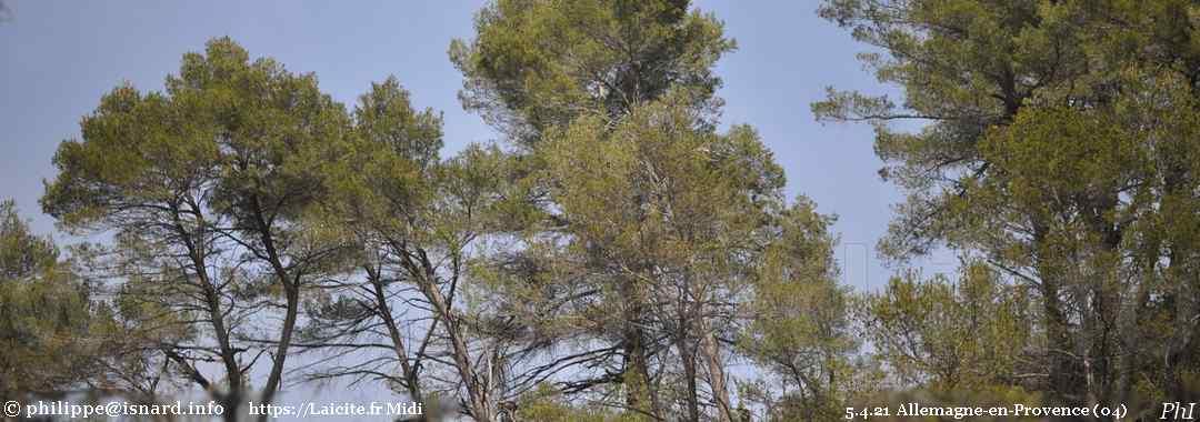 pins, Allemagne-en-Provence (04) 5.4.21 © PhI