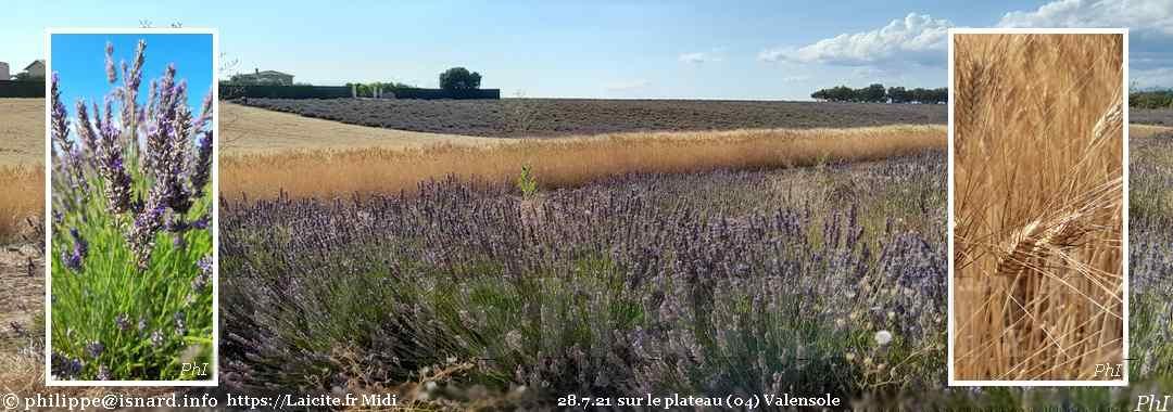 Valensole (04) ombre et lumière, lavande et blé dur 28.7.21 © PhI